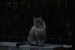 venezian-cat