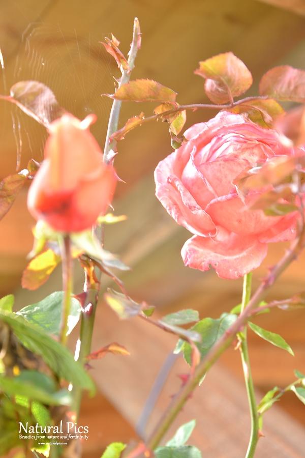 Fancy roses