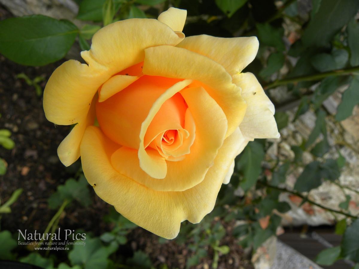Rose I