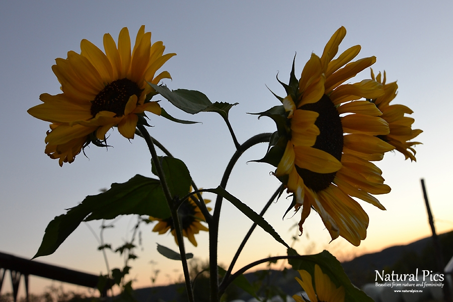 Sunflowers in sunset