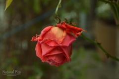 November Rose 2