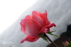 snow rose 3